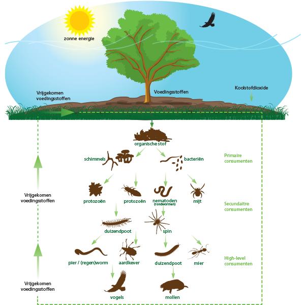 Het bodemleven zit vol bacteriën, schimmels, wormen, algen en nog veel meer micro-organismen. In de bodem zitten alle voedingsstoffen die de basis vormen voor gewassen en planten om te groeien.