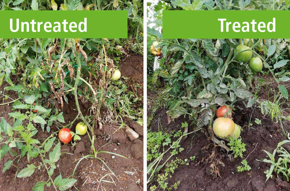Check the results when using organic fertilizers of Komeco.