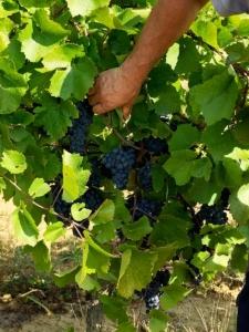 resultaten-kroatië-wijnranken